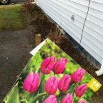 Lined the front garden with 40 tulip bulbs. Should look pretty for a week or so this spring.