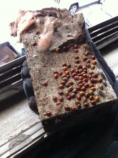 Found hundreds of live ladybugs in the wall living off bat guano. Nice.