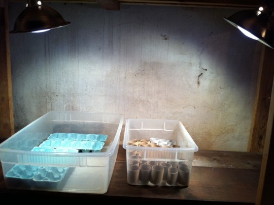 Basement seed growing setup. Lights clipped overhead.