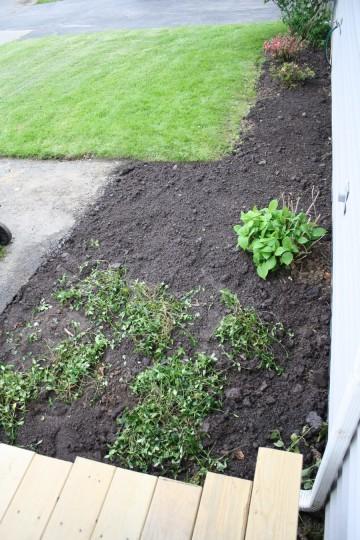 Widened garden, freshly transplanted myrtle.