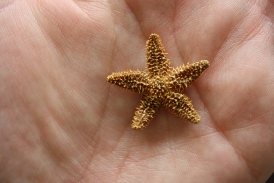 Tiniest starfish.