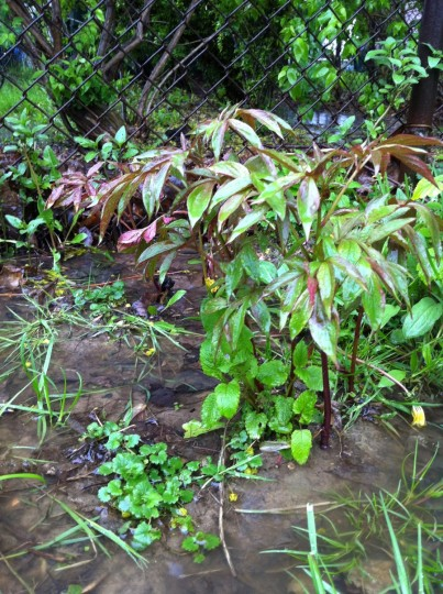 Peonies, threatened by flooding. In an overgrown bed. Yikes.
