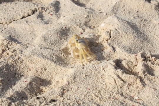 Mexican crabby. Pre-attack.