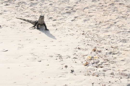 Scared mexican crabby (and photographer), approached by mexican iguana.