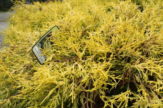 Gold Mops! A beautifully colored Cypress.