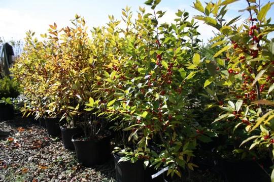 Winter Red Winterberry