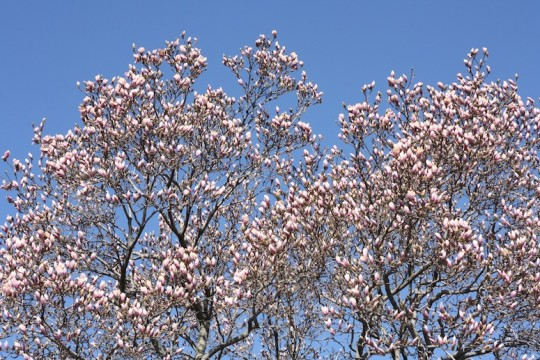 Local magnolia tree explosion.
