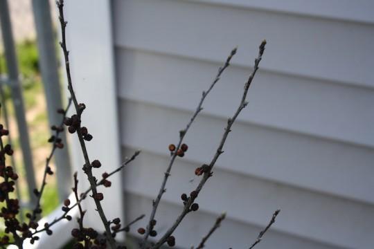 Winterberries showing potential.