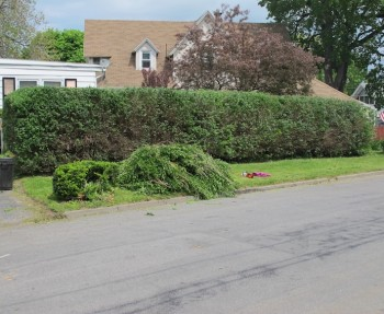 Hedge trimming.