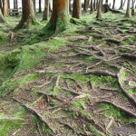 In a park in Furnas, Azores. Beautiful roots!