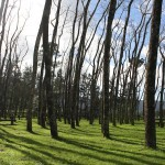 How amazing is this forest of leaning trees?