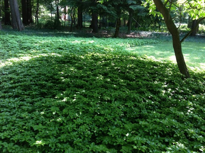 Landscaping with pachysandra.