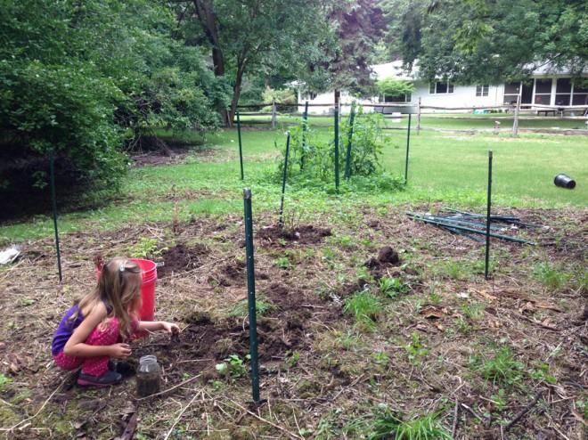 Berry gardening, August 2013.