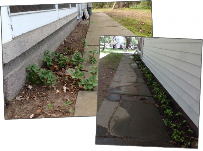I transplanted lots of pachysandra to create a clean border around the edge of our house.