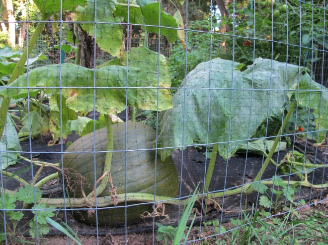 The single pumpkin in our garden.
