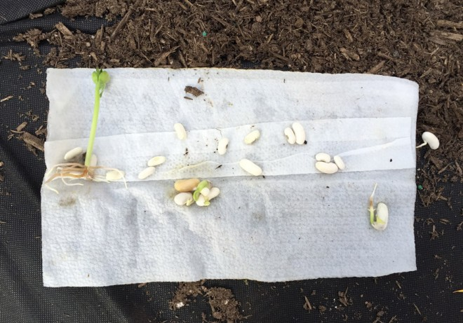 Sprouting giant bean seeds.