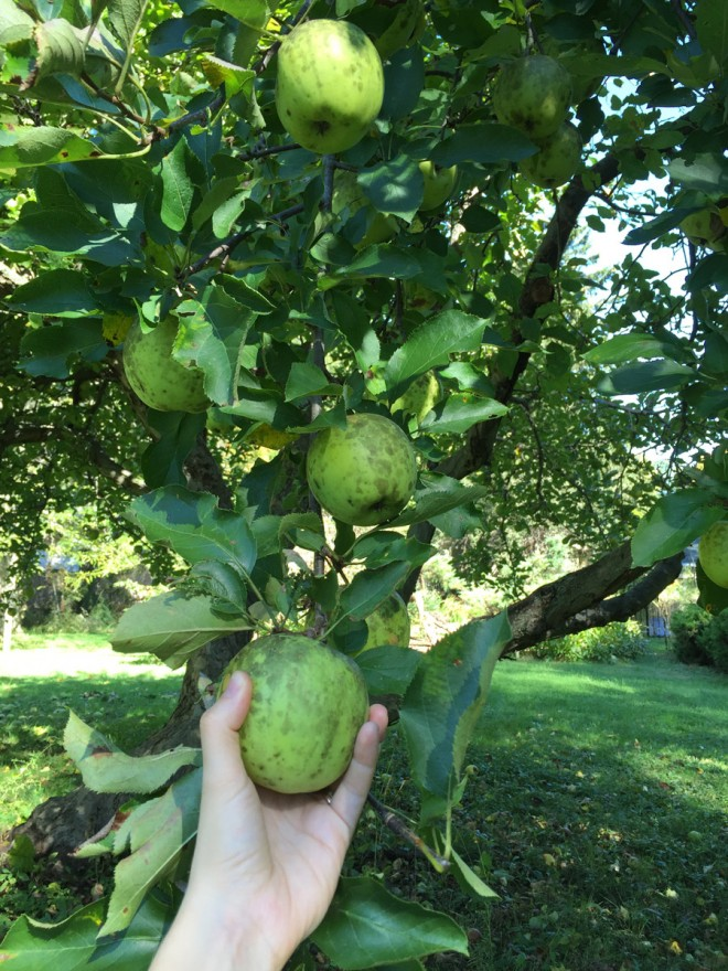 Crispin apples growing in an orchard in Buffalo, NY
