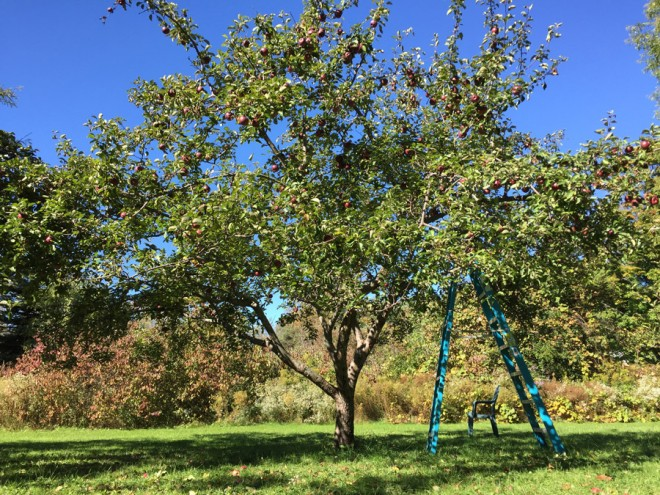 Macoun apple tree in Buffalo, NY