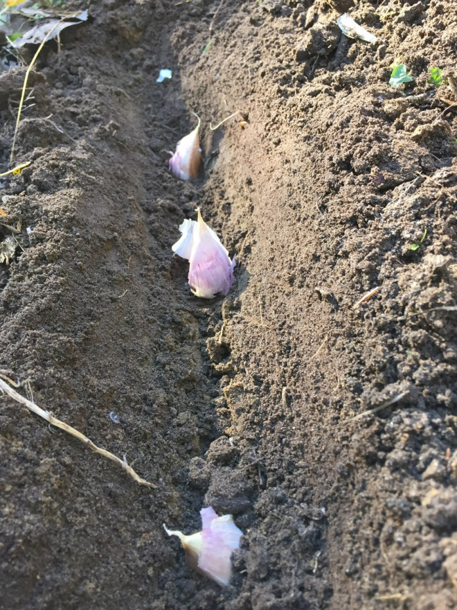 Planting garlic in fall.