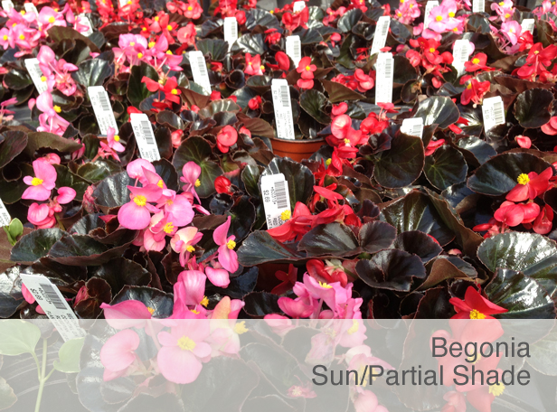 Shade Flower: Begonia