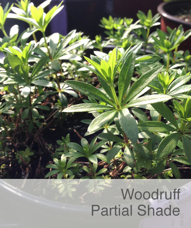 Shade Flower: Woodruff
