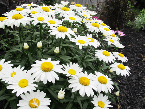 Daisies in the garden.