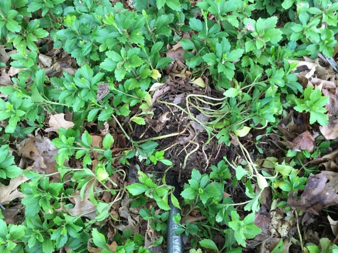 Transplanting pachysandra for ground cover.
