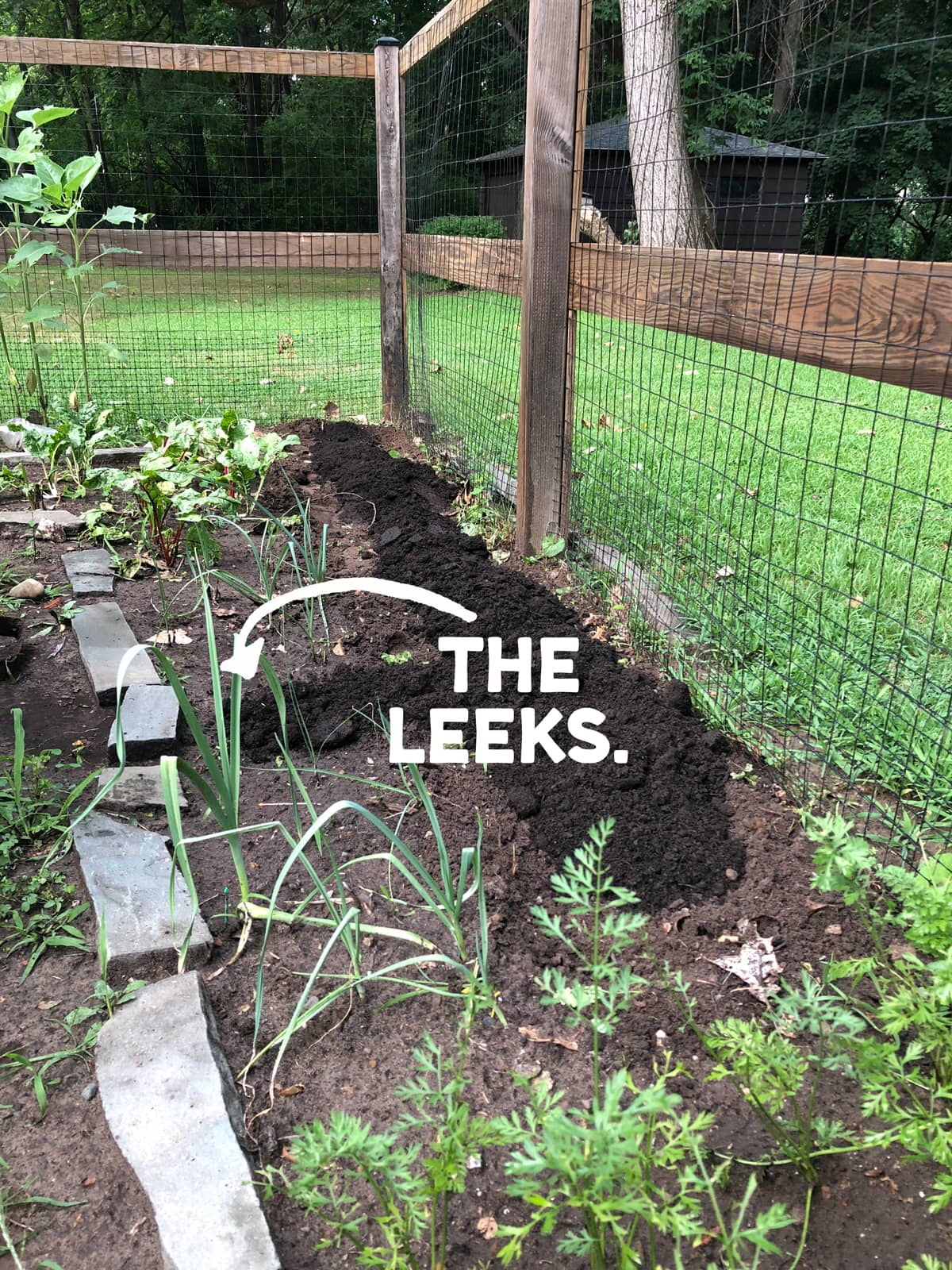 Leeks growing in the garden