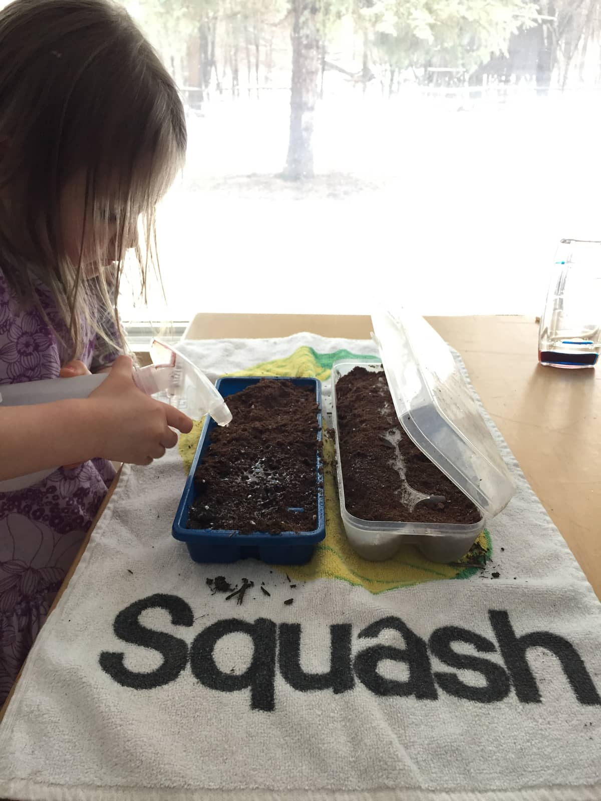 Preschooler starting seeds indoors during the winter.