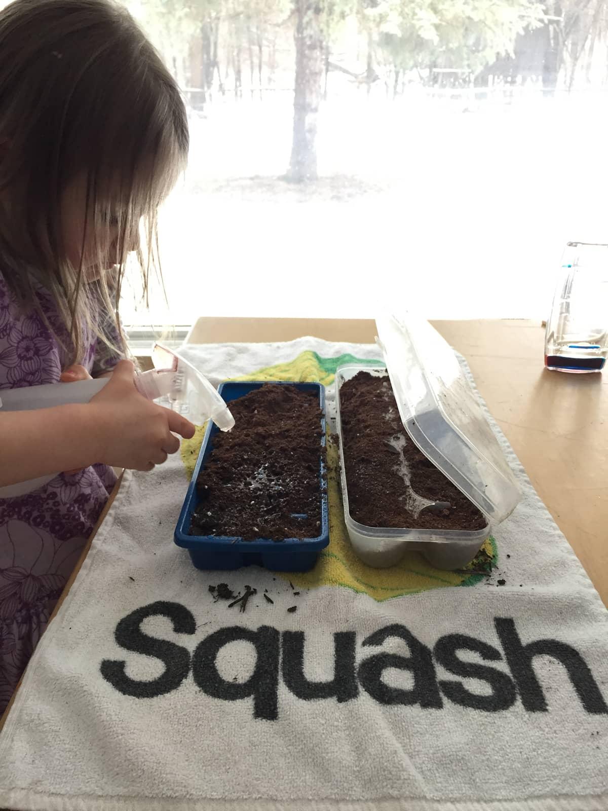 Preschooler starting seeds indoors during the winter.
